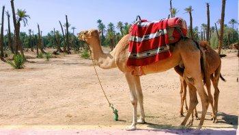 ,Palmeral de Marrakech,Paseo en camello