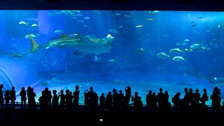 Okinawa Churaumi Aquarium showing marine life and interior views as well as a large group of people