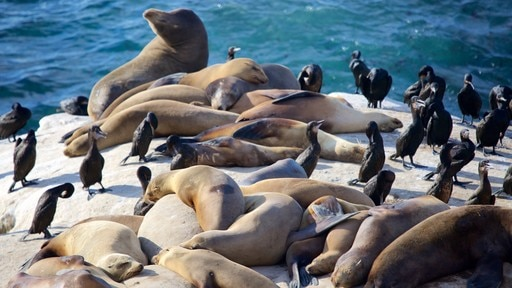 La Jolla Cove which includes rocky coastline, marine life and bird life