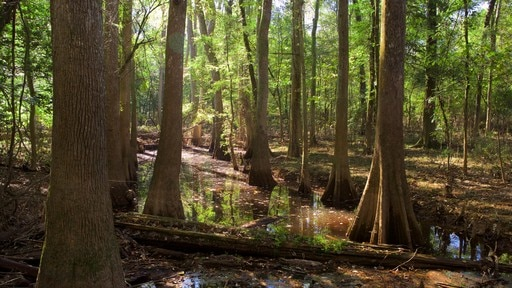 Parc national Congaree