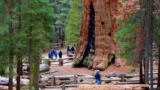 Séquoia géant General Sherman