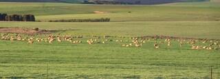 Swellendam featuring animals, farmland and landscape views