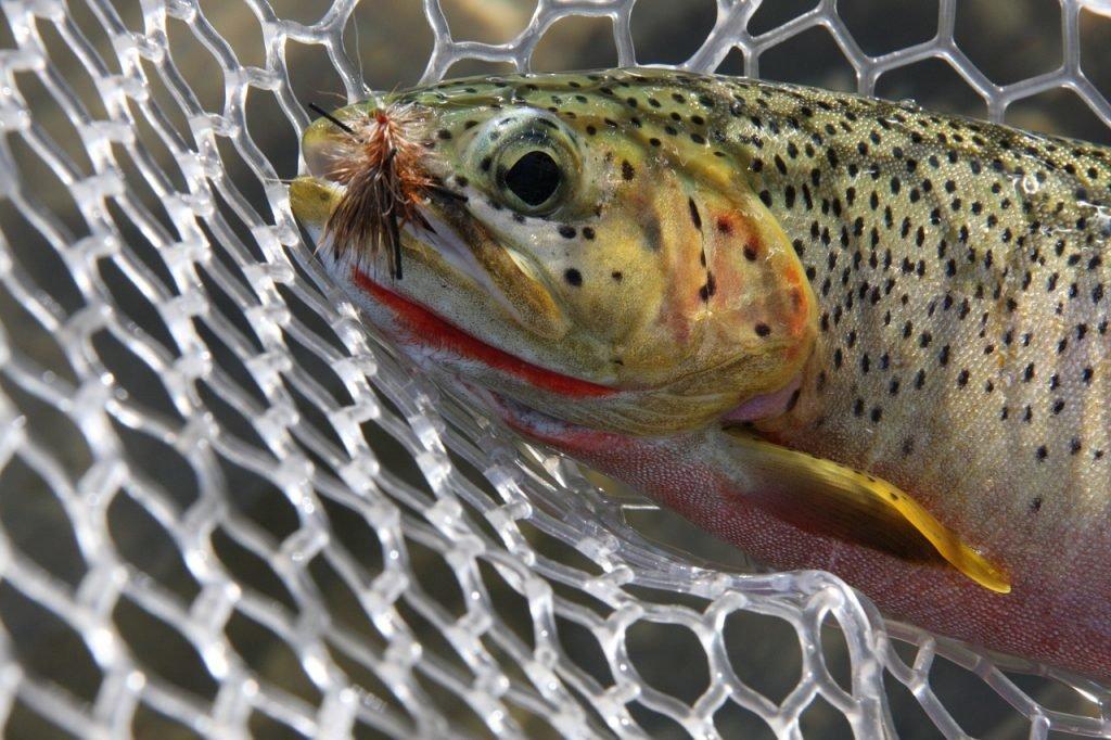Fisch in Montana