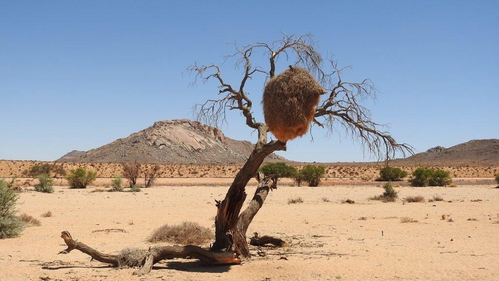 Vogelnester der Webervögel in der Kalahari