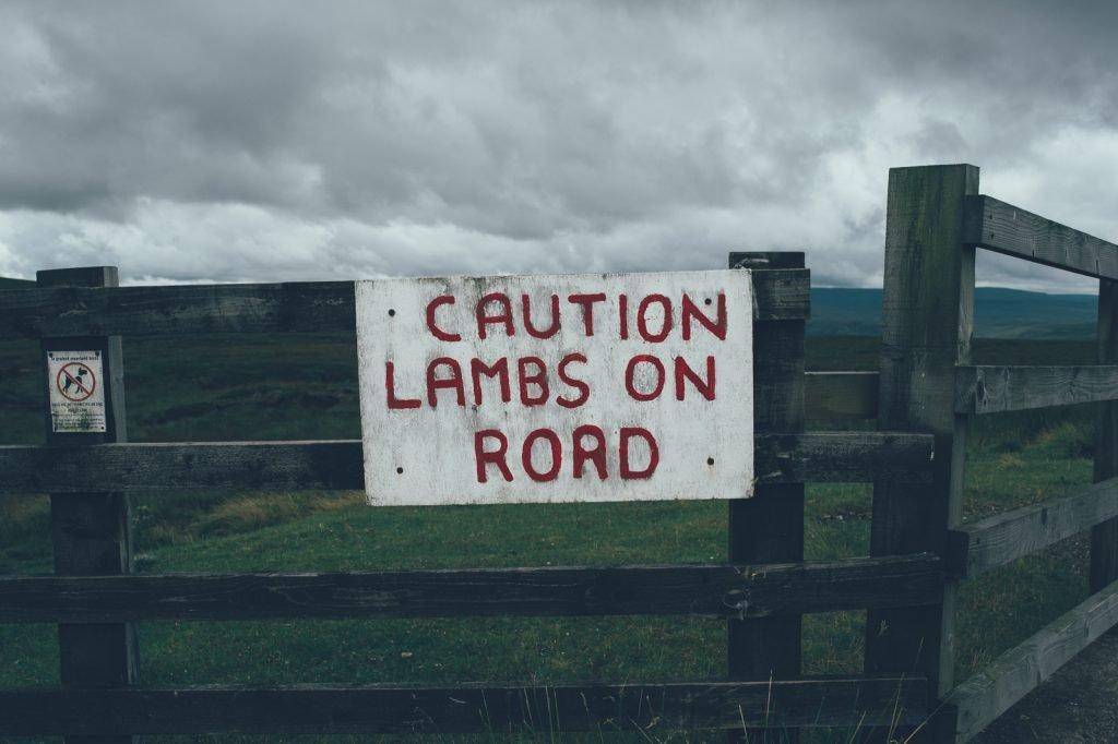 North Pennines Caution Lambs on Road
