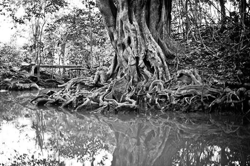 Baum mit gigantischen Wurzeln auf Dominica © Lovis Ostenrik
