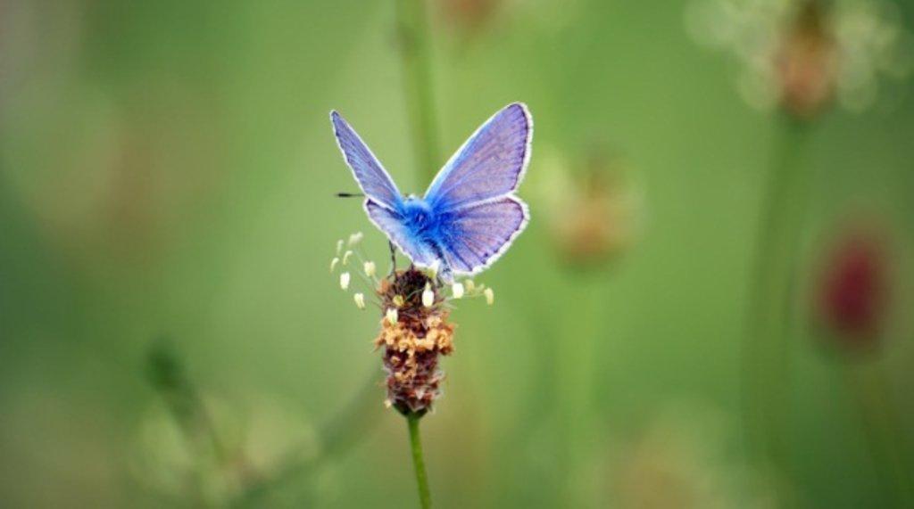 papillon azure(1).jpg