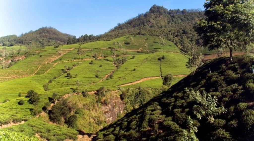 Plantations de thé dans la région de Kandy.jpg