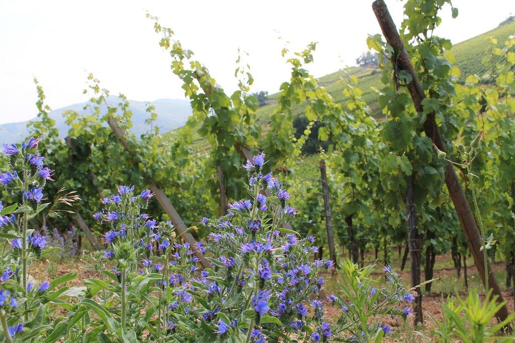 vineyard-487005_1920.jpg