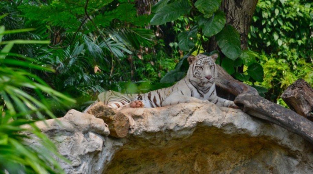 Tigre blanc du Bengal.jpg