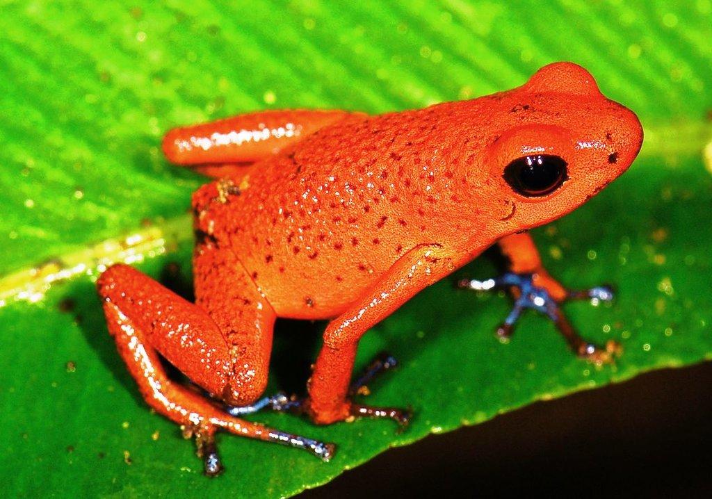 Strawberry_poison_frog Marshal Hedin CC BY 2.0.jpg