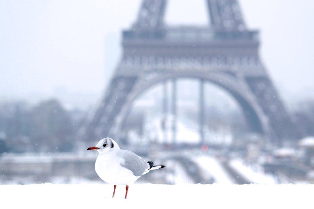Black-headed_gull_in_the_snow_Eiffel_Tower_2013-01-20_n01.jpg