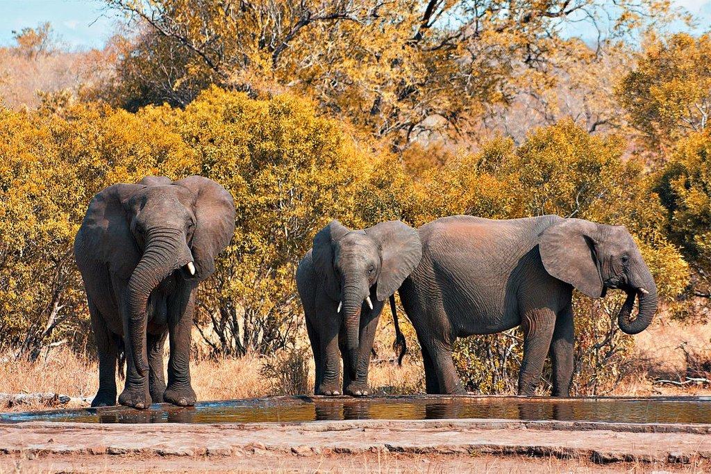 Kruger_Park_Elephants freestock.ca CC BY-SA 3.0.jpg