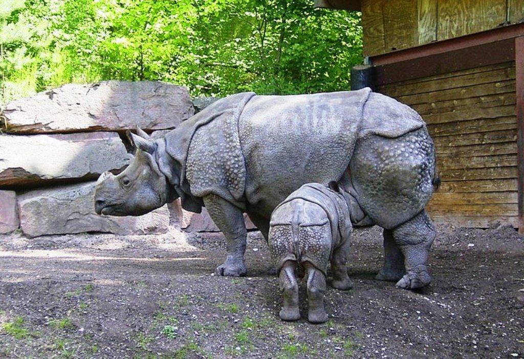 Rhinocéros de Java Jo Oh CC BY-SA 3.0.jpg