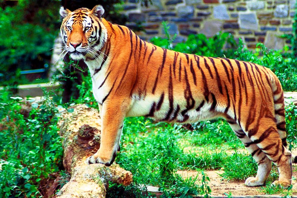 Tigre Bengale DP.jpg
