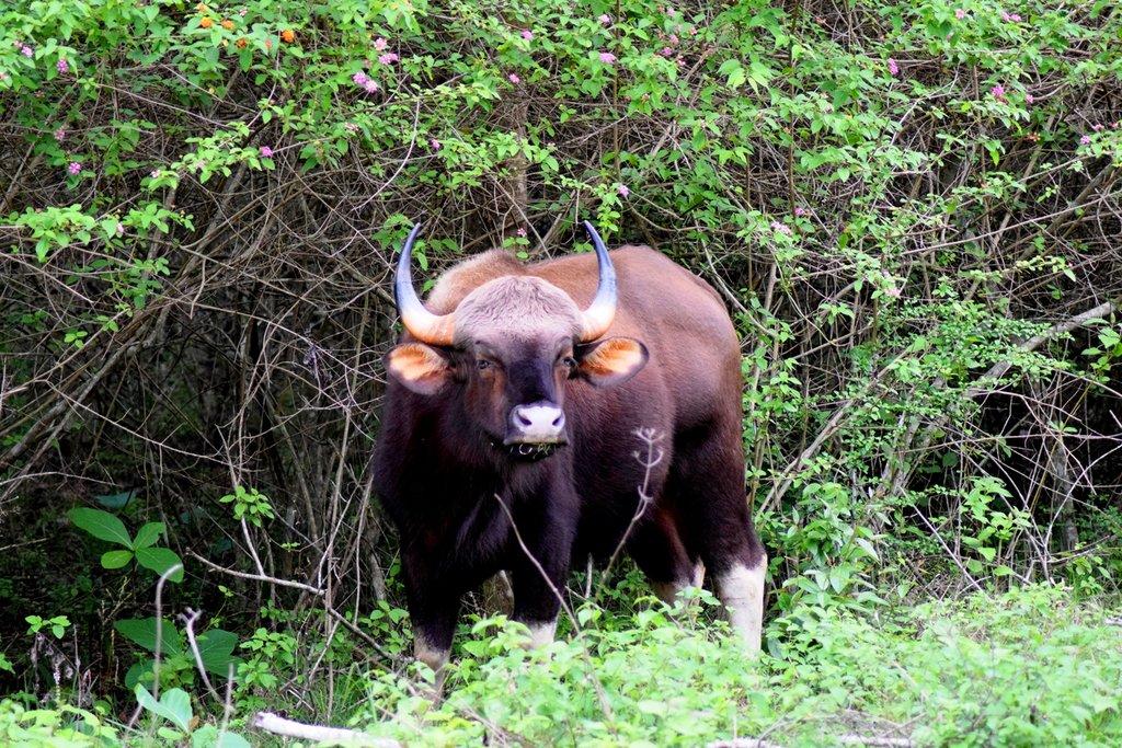 Bandipur_National_Park,_Karnataka,_Bison.jpg