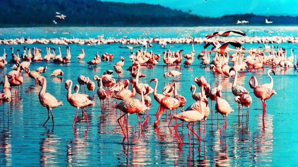 pink-flamingo Nakuru DP.jpg