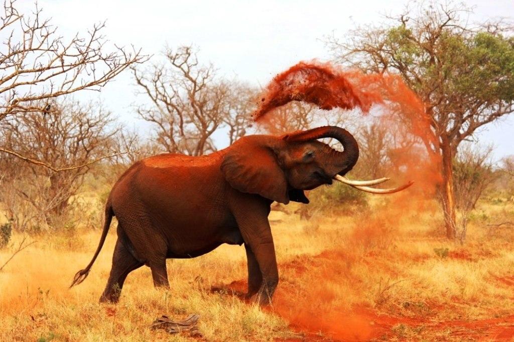 Africa-African-Elephant-Tsavo-Kenya-Elephant DP.jpg