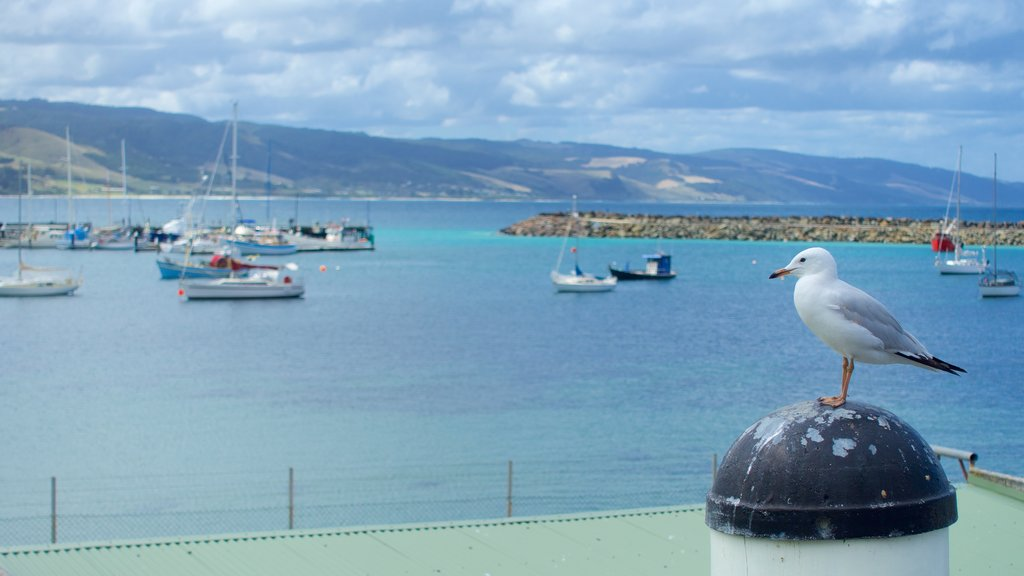Apollo Bay Harbour featuring general coastal views and bird life