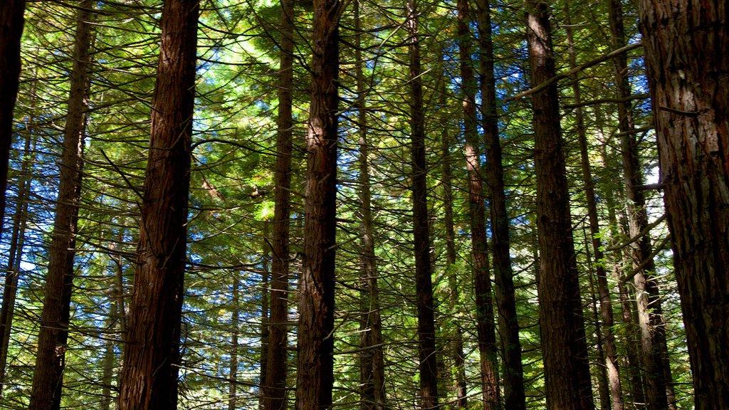 Redwoods Whakarewarewa Forest que incluye bosques