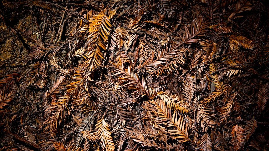 Redwoods Whakarewarewa Forest que incluye escenas forestales