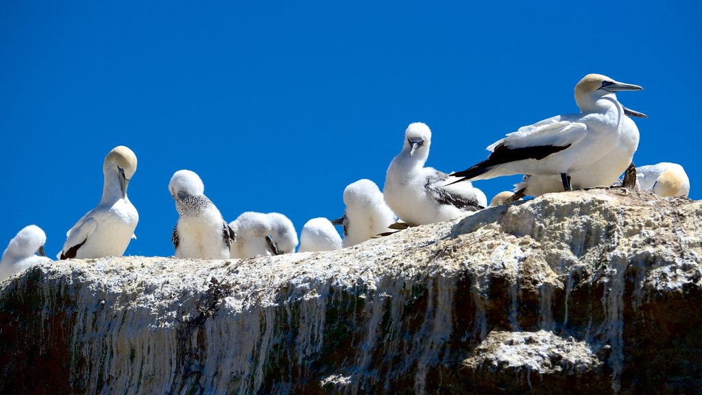 Cape Kidnappers showing bird life