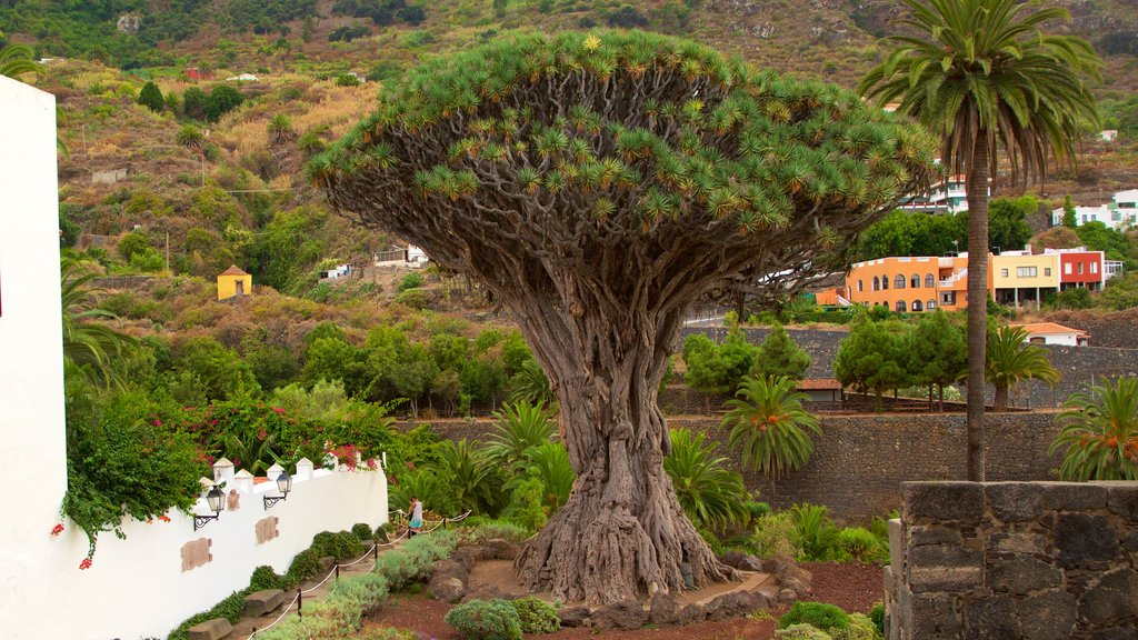 Ancient Dragon Tree featuring a park