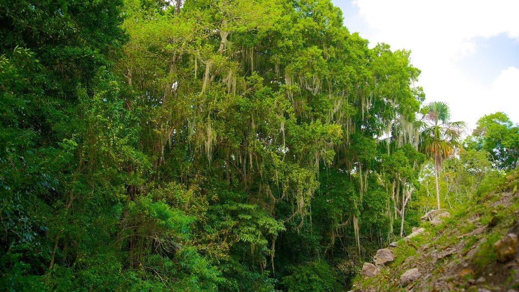 Lamanai que incluye selva