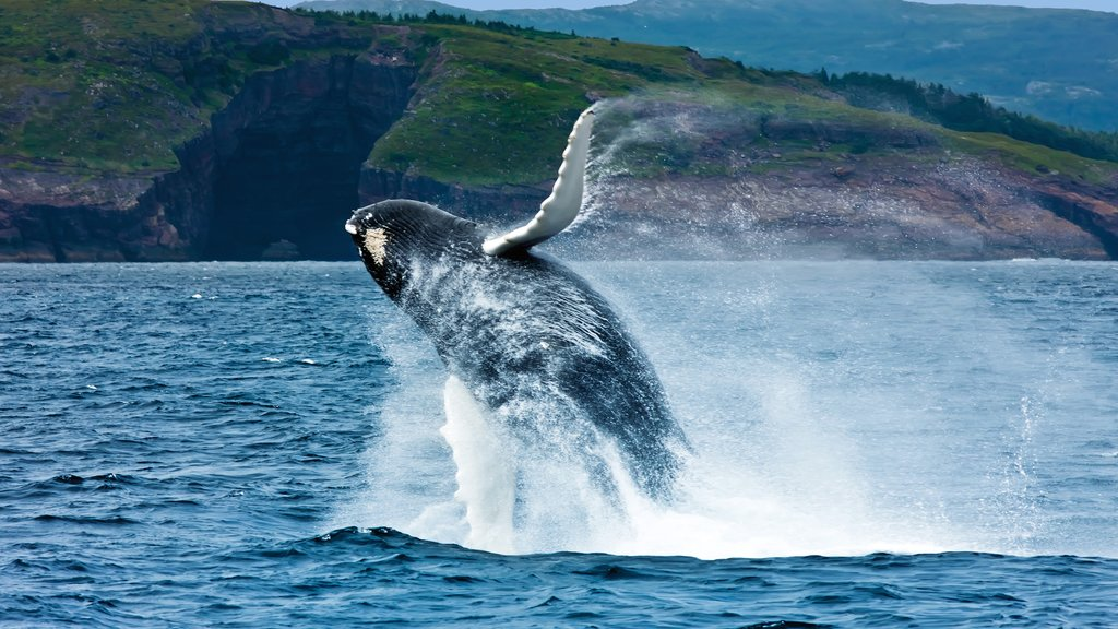 Newfoundland and Labrador featuring general coastal views and whale watching