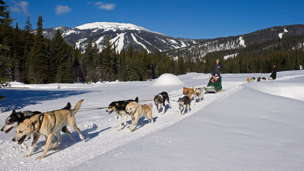 Sun Peaks showing snow, animals and dog sledding