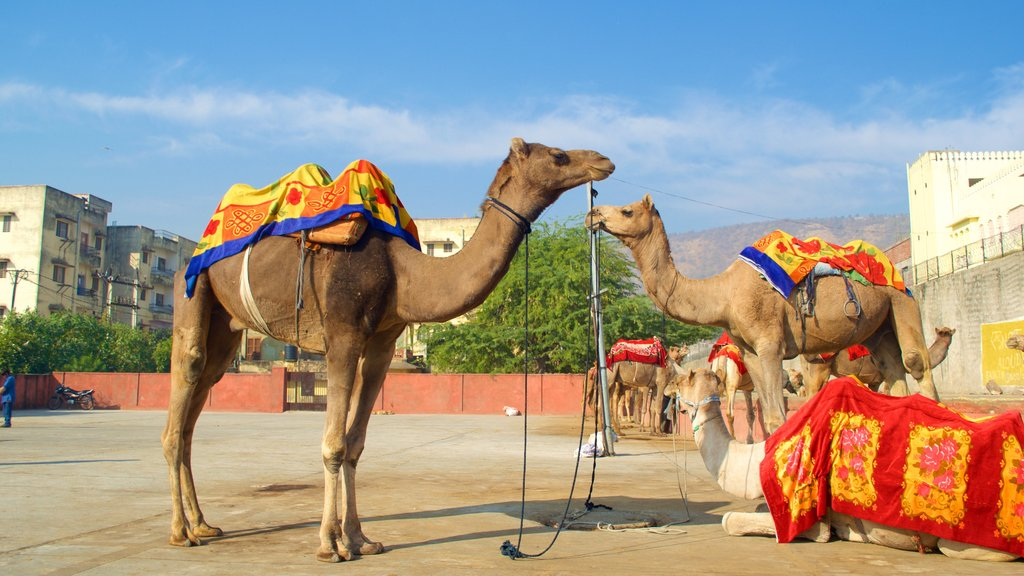 Jaipur featuring land animals