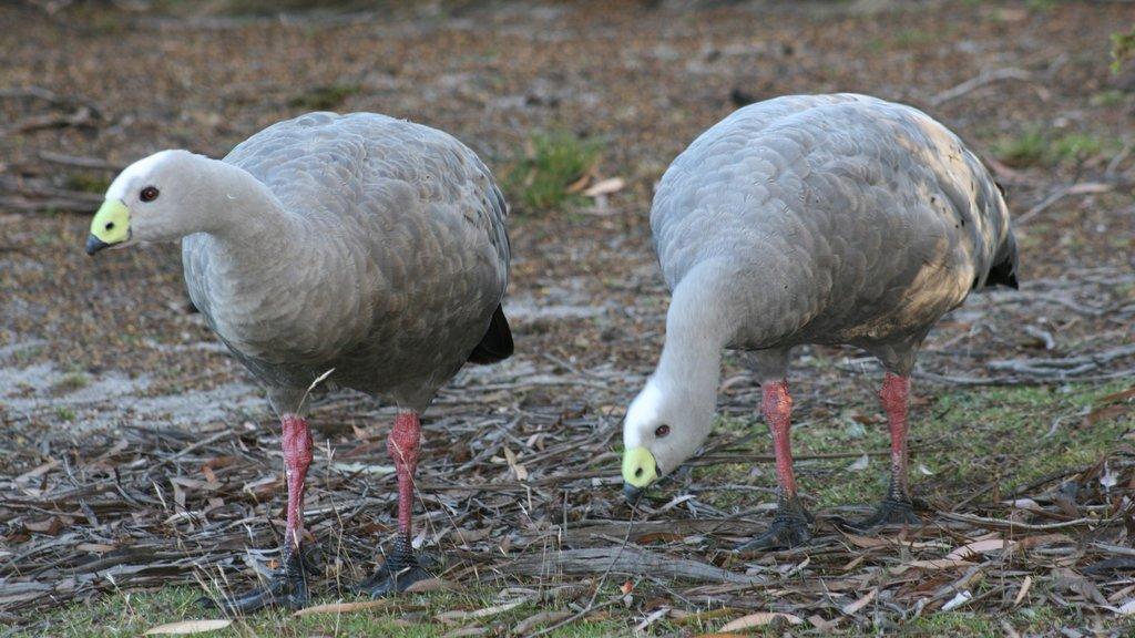 Flinders Island showing bird life