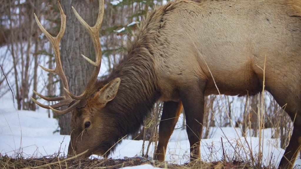 Banff which includes land animals