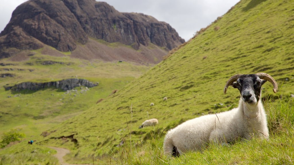 Isle of Skye showing tranquil scenes, mountains and land animals