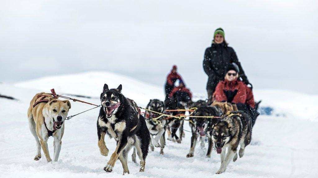 Complejo de esquí Bjorkliden Fjallby que incluye nieve, paseo en trineo de perros y animales tiernos
