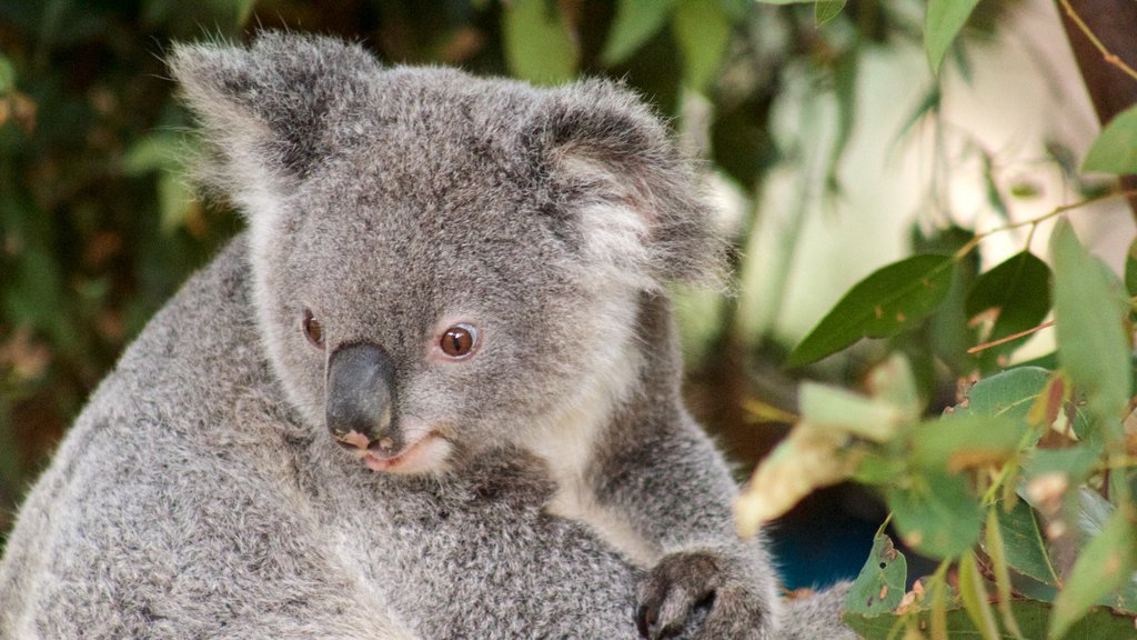 Currumbin Wildlife Sanctuary featuring cuddly or friendly animals and zoo animals