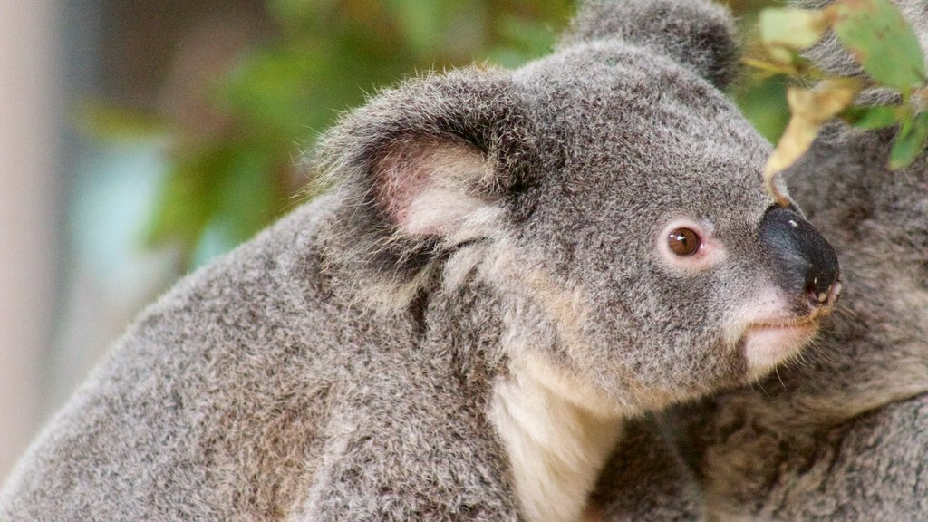 Currumbin which includes zoo animals and cuddly or friendly animals