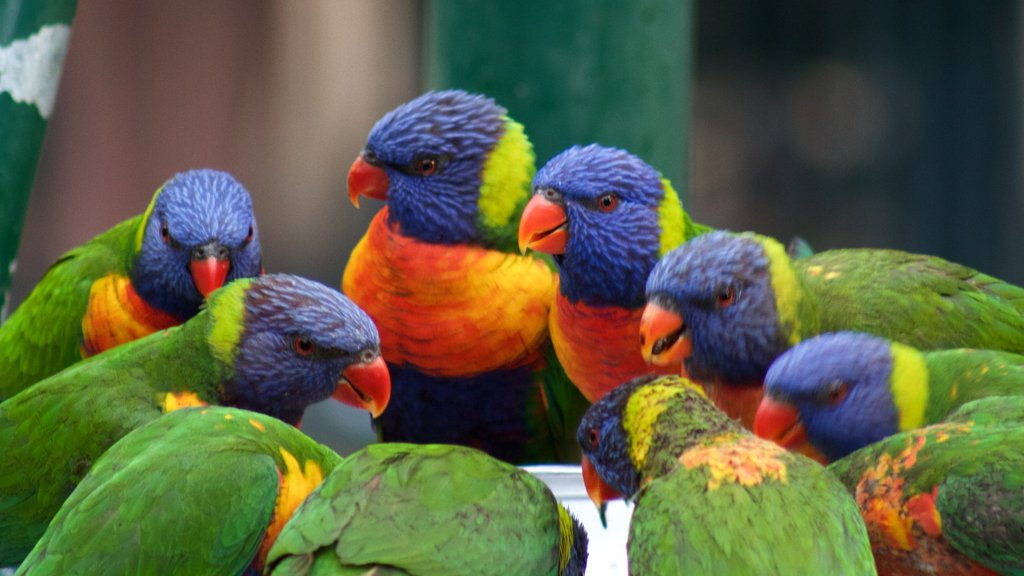 Currumbin Wildlife Sanctuary showing zoo animals and bird life