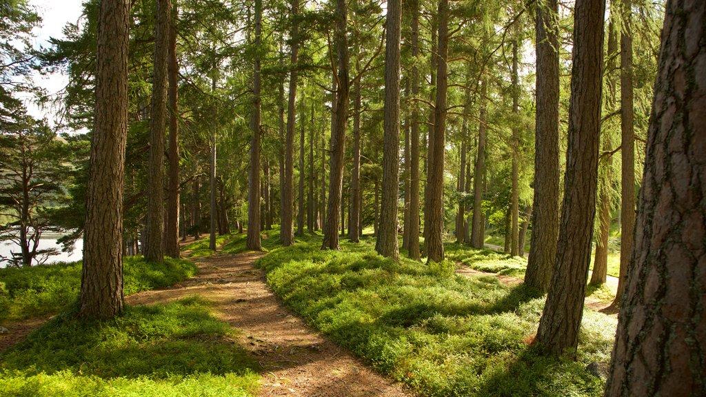 Loch an Eilein showing forest scenes