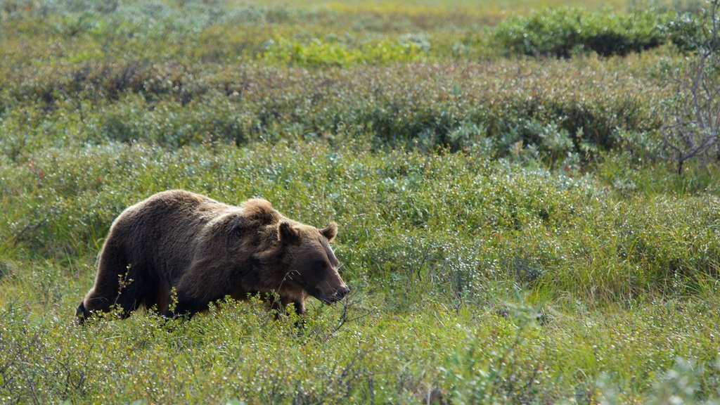 Denali National Park showing dangerous animals