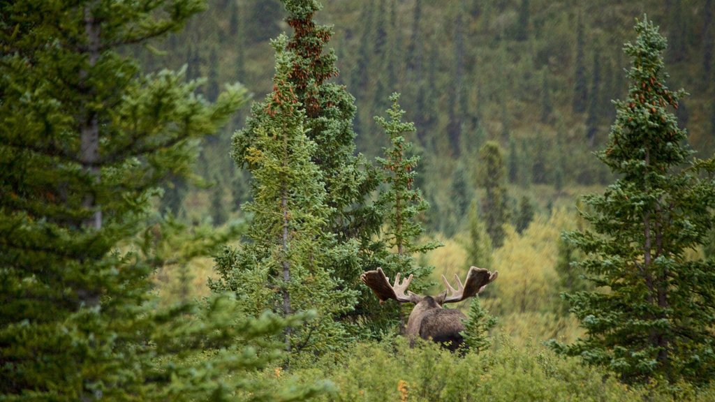 Denali National Park showing forest scenes and land animals