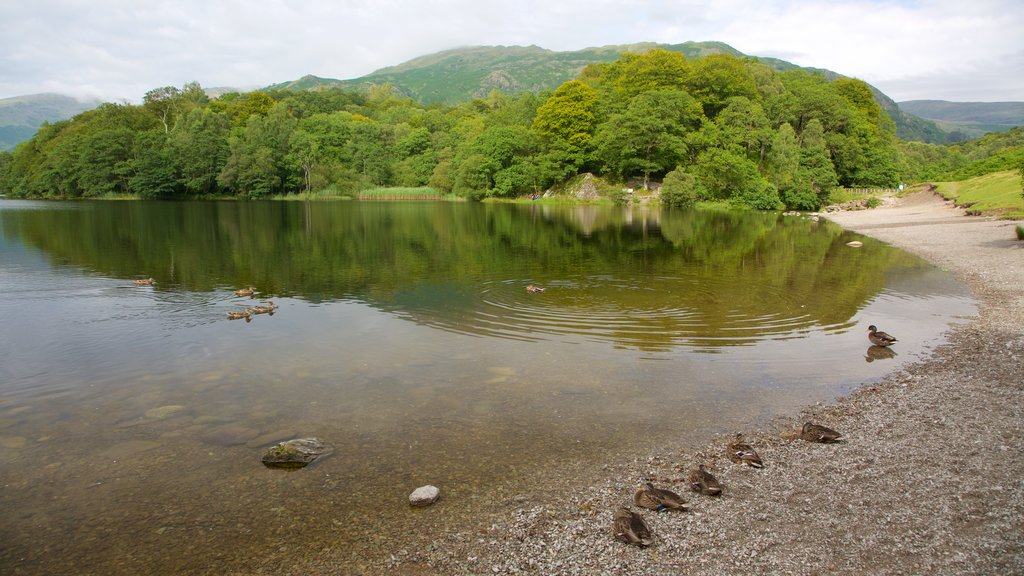 Grasmere showing bird life and a lake or waterhole