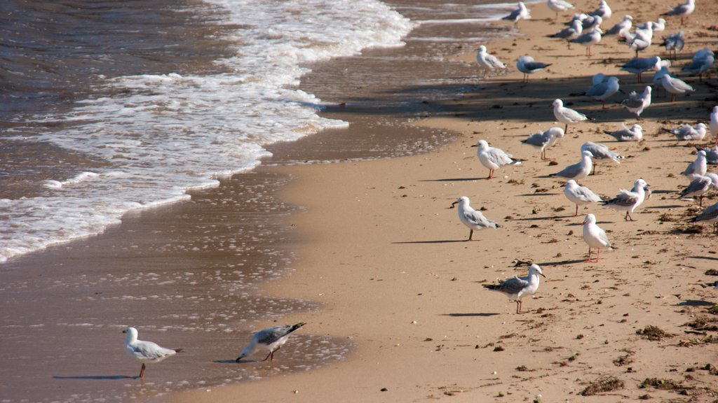 Redcliffe showing bird life and a sandy beach