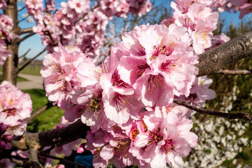 Mandelbaumblüten