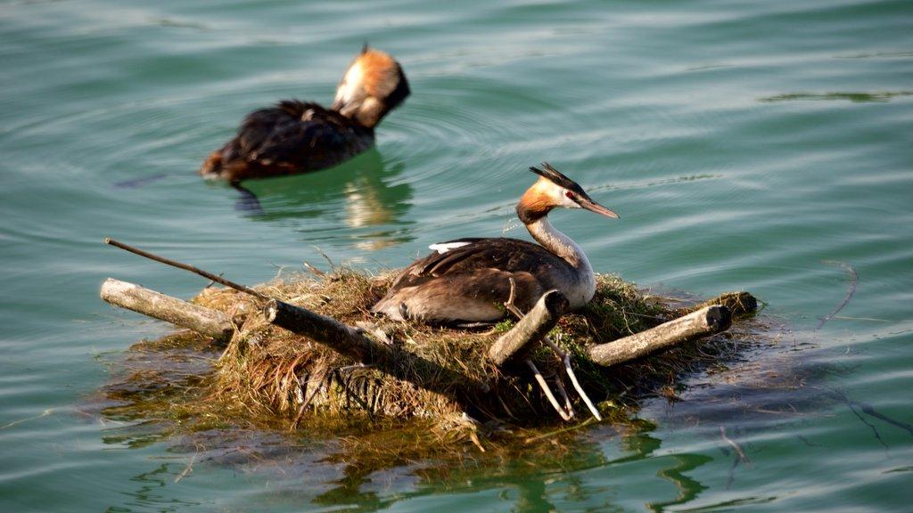 Lindau showing bird life