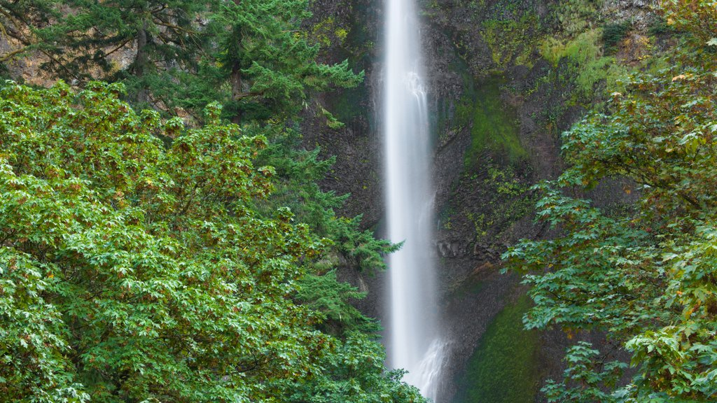 Multnomah Falls showing a waterfall and rainforest