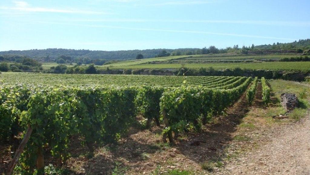 Burgundy_gastronomy_vines_Flickr.jpg