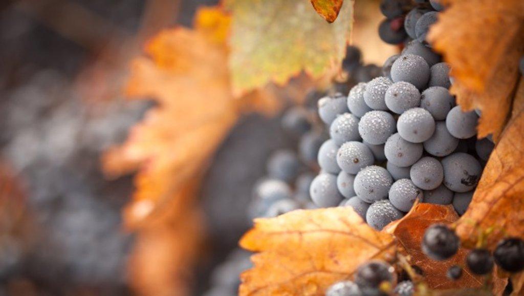 Tuscany_gastronomy_grapes_EDAM_.jpg