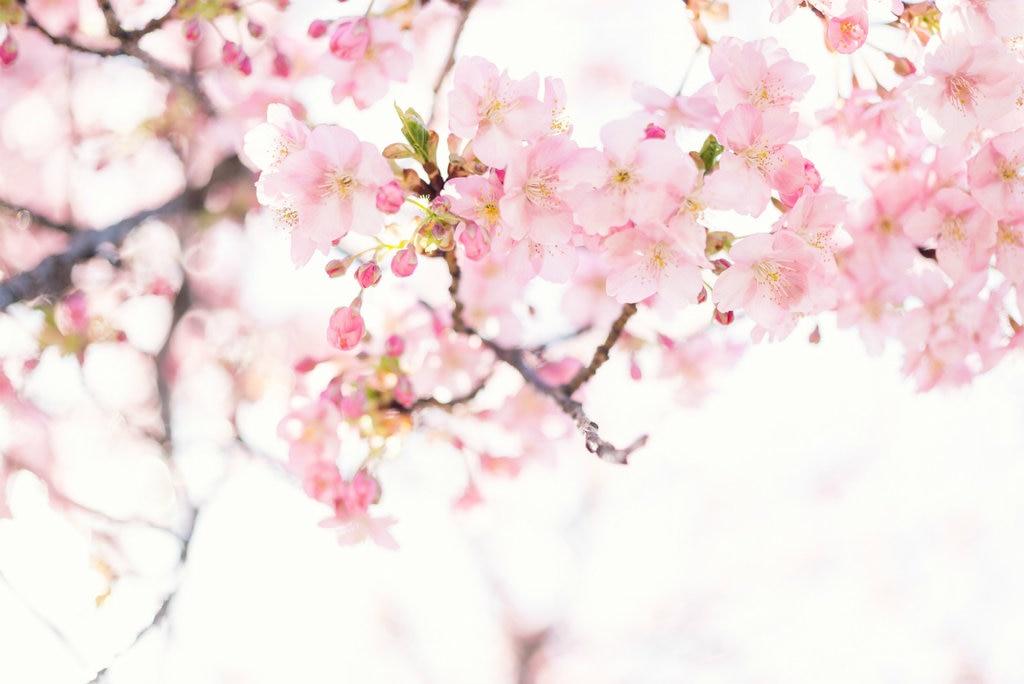 sakura-1024x684.jpg