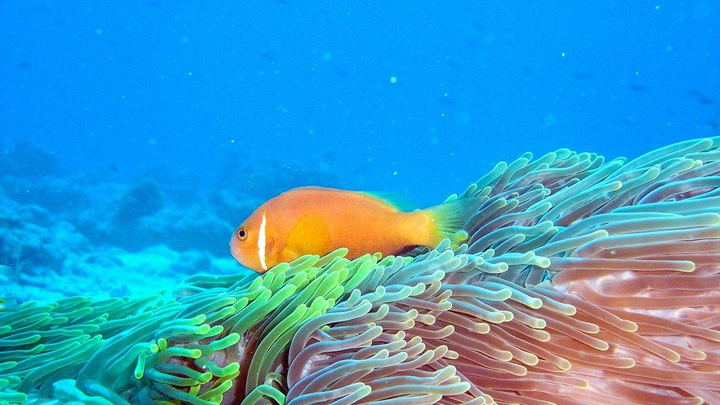Maldives showing marine life and coral